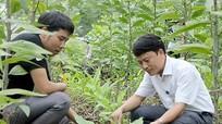 Trồng xen nghệ dưới tán rừng cho thu nhập hàng trăm triệu đồng