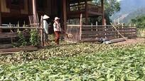 Người dân miền Tây Nghệ An tiếp tục hái lá chua ke bán cho thương lái