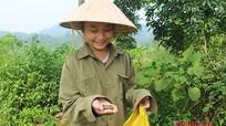Mùa lượm hạt dẻ ở miền tây Nghệ An