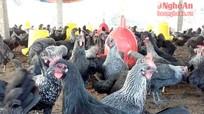 Lãi cao từ nuôi gà Ai Cập đẻ trứng
