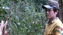 Khởi tố vụ án khai thác gỗ Pơ mu tại Khu bảo tồn thiên nhiên Pù Hoạt