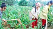 Mô hình lạ: 200 chị em phụ nữ lập tổ giúp nhau trồng riềng, làm kinh tế