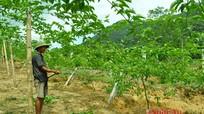 Quế Phong: Trồng mới 100 ha chanh leo vụ thu 2016