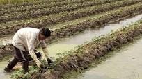 Diễn Châu tích cực 'cứu' 40 ha dưa sạch sau mưa lụt