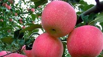 Trái táo Trung Quốc căng mọng và bí mật rợn người