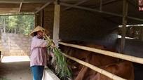 Ngân hàng bò vàng Quỳ Hợp: Sau 2 năm tăng thêm 76 con