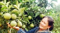 Đồng bào dân tộc Thái 'tập' trồng cam