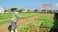 Vùng rau trọng điểm Quỳnh Lưu khôi phục sản xuất sau mưa lụt