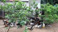 Chăn nuôi bằng đệm lót sinh học thu nhập cao
