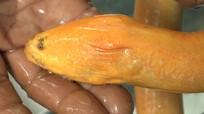 Nông dân bắt được lươn vàng nặng gần 1kg