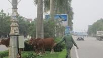 Chăn trâu, bò trên đại lộ đẹp nhất Nghệ An