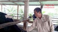 8X nuôi bò sữa, mỗi năm thu nhập hơn 500 triệu đồng