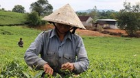 Anh Sơn tăng tốc sản xuất trà xanh chất lượng cao phục vụ Tết