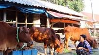 Bản Thái trồng cỏ voi nâng cao chất lượng đàn bò