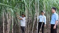 Vụ ép 2016-2017: Nghệ An đạt 1,2 triệu tấn mía cây