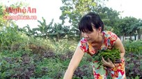 Trồng khoai lang làm rau sạch cho thu nhập 'khủng'
