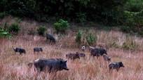 Đàn lợn rừng trăm con biết nghe tiếng kẻng ở Nghệ An