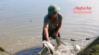 Cá rô chịu lạnh phát triển tốt ở Nghệ An