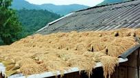 Muôn kiểu phơi lúa của đồng bào vùng cao xứ Nghệ