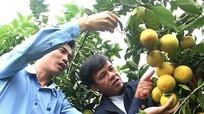 Yên Thành khống chế diện tích cam khoảng 350 ha để bảo vệ chất lượng