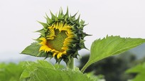 Bông hoa hướng dương đầu tiên đã hé nụ trên cánh đồng Phủ Quỳ
