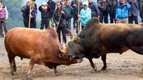 Những pha chọi trâu, bò gay cấn ở miền Tây xứ Nghệ