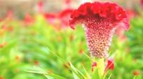 Hoa mồng gà chữa mề đay hiệu quả