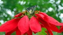 Hoa trạng nguyên rực đỏ ở miền Tây xứ Nghệ