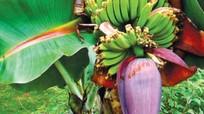 Hoa chuối hỗ trợ điều trị bệnh tiểu đường