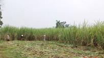 Nông dân Quỳ Hợp phấn khởi vì giá mía tăng 70.000 đồng mỗi tấn