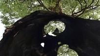 Cây rỗng ruột 300 năm tuổi vẫn sống khỏe mạnh