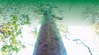 Bí ẩn quần thể cây di sản vừa được vinh danh ở Nghệ An