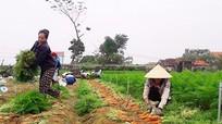 Hoàng Mai: Sản xuất vụ đông thu nhập hơn 90 triệu đồng/ha