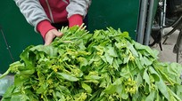 Thu 140 triệu đồng/ha từ rau cải ngồng
