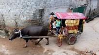 Chàng trai tàn tật dùng xe trâu đưa đón học sinh