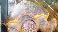 Bắt được rùa vàng quý hiếm hơn 70 kg trên biển Nghệ An