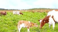 Trang trại bò sữa Oganic đầu tiên tại Việt Nam đạt chuẩn châu Âu