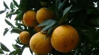 Chỉ dẫn các vùng cam ở Nghệ An