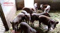 Nông dân nuôi lợn rừng phục vụ Tết
