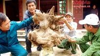 Nghệ An: Đào được khoai 'đầu rồng' khủng