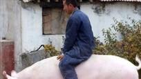 Trung Quốc bầu chọn 'Vua lợn'