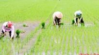 Bất chấp mưa lạnh, nông dân gieo cấy trước lịch thời vụ