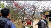 Những cành đào Lào đầu tiên vượt biên giới về Nghệ An đón Tết