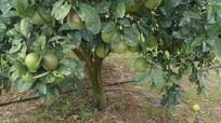 Công nghệ tưới nhỏ giọt tiết kiệm, hiệu quả, tăng năng suất cây trồng
