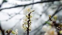 Hoa mận nở trắng trời Mường Lống