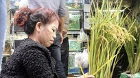 Dân phố trồng ngô, lúa làm cây cảnh chơi Tết