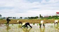 Diễn Châu xây dựng thành công nhiều cánh đồng một giống lúa