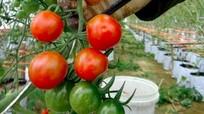 Nông dân Nghệ An trồng rau cao cấp theo công nghệ Israel