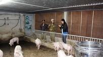 Nông dân Nghệ An 'điêu đứng' vì lợn hơi rớt giá thảm