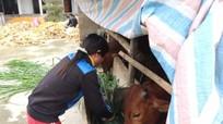 Nông dân miền núi Anh Sơn chống rét cho cây trồng vật nuôi